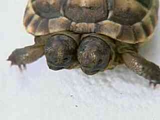 2 headed turtle
